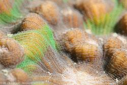 BD-111129-Raja-Ampat-5544-Mycedium-elephantotus-(Pallas.-1766)-[Chinese-lettuce-coral].jpg
